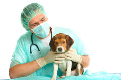 Veterinarian doctor and a beagle puppy Royalty Free Stock Images