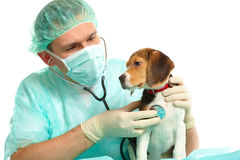Veterinarian doctor and a beagle puppy Stock Photos