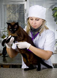 Veterinarian doctor and a cat Royalty Free Stock Images