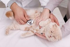 Veterinarian doctor checking cat at a vet clinic. Male doctor vet with stethoscope sitting at a table, inspects a red cat, diagnosis of animal diseases. photo on stock photos