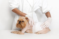 Veterinarian doctor and dog. Veterinarian inspects a little dog breed Griffon Bruxellois royalty free stock image