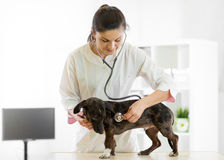 Veterinarian doctor and dog at vet ambulance. Veterinarian female doctor and dog at vet ambulance royalty free stock photography