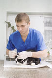 Veterinarian doctor examines a cat Stock Photography
