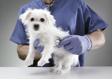 Veterinarian doctor examining a Maltese puppy. Veterinarian doctor examining a Maltese Westie cross puppy with a stethoscope Royalty Free Stock Photos