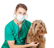 Veterinarian doctor. Handsome veterinarian doctor examining a puli dog Royalty Free Stock Images