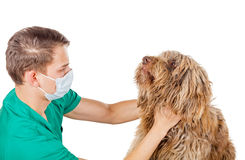 Veterinarian doctor. Handsome veterinarian doctor examining a puli dog Royalty Free Stock Photos