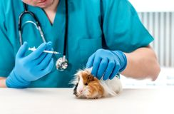 Veterinarian doctor holding a syringe for treating guinea pig. Little guinea pig get injection at vet table. Veterinary pet treating royalty free stock images