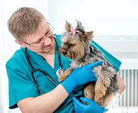 Veterinarian holding dog on hands at vet clinic. Veterinarian doctor holding Yorkshire Terrier dog on hands at vet clinic. Pet care concept stock images