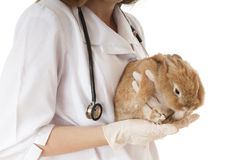 Veterinarian doctor with pet brown rabbit. Royalty Free Stock Photography