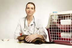 Female sable ferret in care of veterinary specialist royalty free stock photography