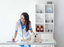 Veterinarian doctor writing prescription after white dog exam in. Veterinarian doctor writing prescription after cute white dog exam in clinic Stock Photos