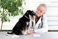 Veterinarian with dog. Miniature schnauzer sitting on table in senior veterinarian infirmary Stock Image