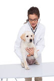 Veterinarian doing check up at a dog with a stethoscope Royalty Free Stock Image