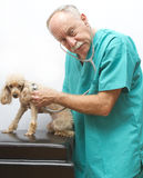Veterinarian Doing Emergency Checkup. A veterinarian (model) does an emergency checkup on a dog (model royalty free stock photography