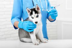Veterinarian doing injection with for puppy. stock photography