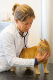 Veterinarian is examination red cat Royalty Free Stock Photo