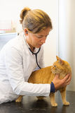 Veterinarian is examination red cat Stock Images