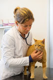 Veterinarian is examination red cat Stock Image