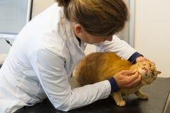 Veterinarian examination tooth of cat Stock Image