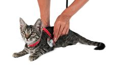 Veterinarian examines a cat isolated on white. Veterinarian examines a sick cat to the clinic isolated on white background Royalty Free Stock Photography