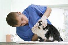 Veterinarian examines a cat Royalty Free Stock Image