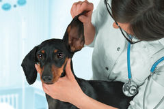 Veterinarian examines ear of a dog. Woman veterinarian examines ear of a dachshund dog stock image