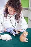 Veterinarian examines four beautiful little a kitten Stock Photography