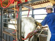 Veterinarian examines and initiates artificial insemination work on a Nelore cow on a farm, in the municipality of Londrina. Londrina, PR, Brazil, 10/23/2003 royalty free stock photography