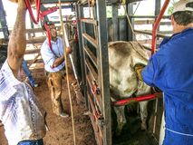 Veterinarian examines and initiates artificial insemination work on a Nelore cow on a farm, in the municipality of Londrina. Londrina, PR, Brazil, 10/23/2003 stock photo