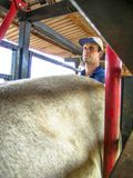Veterinarian examines and initiates artificial insemination work on a Nelore cow on a farm, in the municipality of Londrina. Londrina, PR, Brazil, 10/23/2003 royalty free stock photo