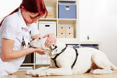 Veterinarian examing boxer dog Stock Image
