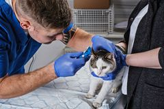 Male veterinarian examining cat ear infection with an otoscope in a vet clinic. Veterinarian examining cat ear infection with an otoscope in a vet clinic stock photography