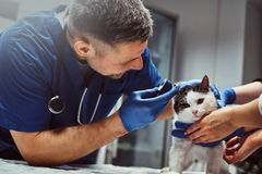 Male veterinarian examining cat ear infection with an otoscope in a vet clinic. Veterinarian examining cat ear infection with an otoscope in a vet clinic stock photos