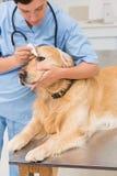 Veterinarian examining a cute dog Royalty Free Stock Photo