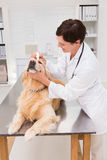 Veterinarian examining a cute dog Royalty Free Stock Photography