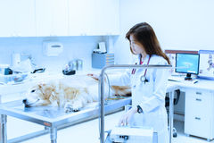 Veterinarian examining cute golden retriever at hospital Stock Photo