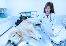 Veterinarian examining cute golden retriever at hospital Royalty Free Stock Image