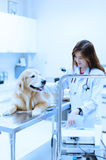 Veterinarian examining cute golden retriever at hospital Stock Photography