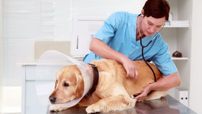 Veterinarian examining a cute labrador stock video footage