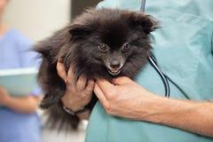 Veterinarian examining cute little dog. Close-up of veterinarian examining cute little dog Stock Images