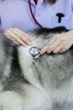 Veterinarian examining cute siberian husky Stock Photos