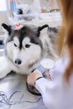Veterinarian examining cute siberian husky Stock Photo