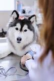 Veterinarian examining cute siberian husky Royalty Free Stock Photos