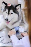 Veterinarian examining cute siberian husky Stock Image