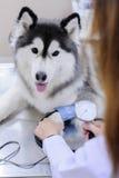 Veterinarian examining cute siberian husky Royalty Free Stock Photo