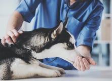 Veterinarian is examining a cute siberian husky at hospital.  Royalty Free Stock Image