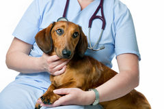 Veterinarian examining a dog royalty free stock photos