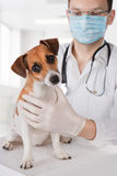 Veterinarian examining dog Stock Image