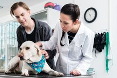 Veterinarian examining dog stock photos