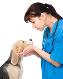 Veterinarian examining dog. isolated on white background Stock Photography